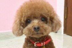 小巧玲珑宠物泰迪名字大全