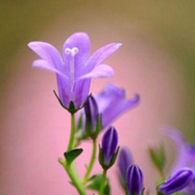 一朵花的清新图片头像