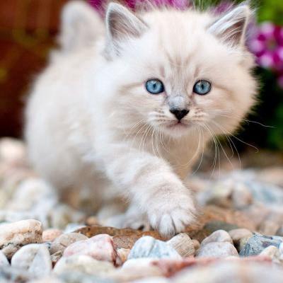 可爱小白猫头像