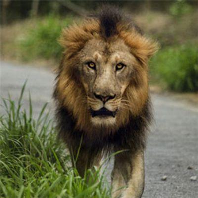 霸气雄狮头像